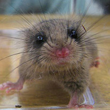 Photo of Japanese dormouse